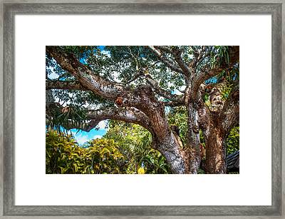 Old Tree In Eureka. Mauritius Framed Print by Jenny Rainbow