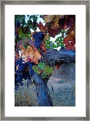 Old Vine Framed Print by Kathy Yates