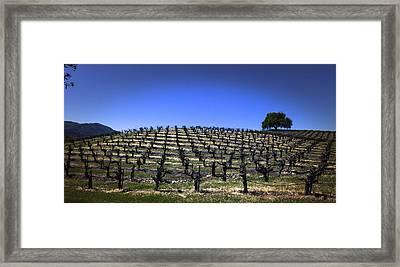 Old Vines Panorama Framed Print by Karen Stephenson