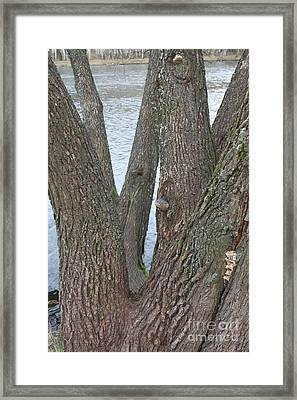 Old Willow Framed Print