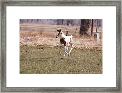 Oldenburg Filly With Four Feet Framed Print by Piperanne Worcester