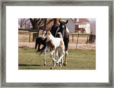 Oldenburg Warmblood Filly Or Foal Framed Print by Piperanne Worcester