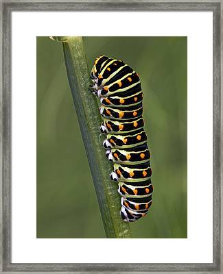 Oldworld Swallowtail Butterfly Framed Print by Frans Hodzelmans