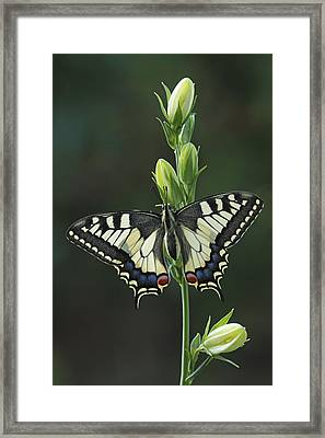 Oldworld Swallowtail Butterfly Framed Print by Silvia Reiche