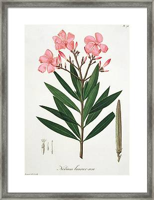 Oleander From 'phytographie Medicale' By Joseph Roques  Framed Print by L F J Hoquart
