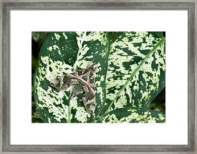 Oleander Hawk-moth On A Leaf Framed Print by K Jayaram