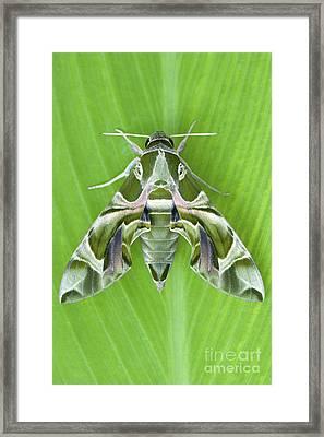 Oleander Hawk Moth Framed Print by Tim Gainey