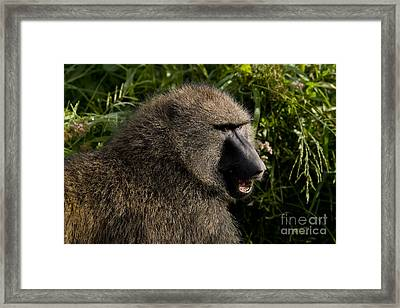 Olive Baboon   #0685 Framed Print by J L Woody Wooden