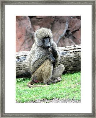 Olive Baboon Framed Print by Michael Caron