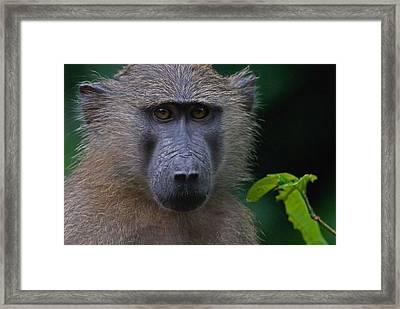 Olive Baboon Framed Print