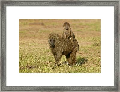 Olive Baboons Framed Print