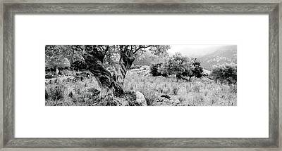 Olive Grove, Majorca, Balearic Islands Framed Print by Panoramic Images