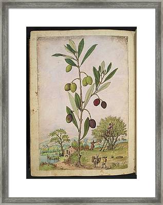 Olive (olea Europaea) Framed Print by British Library