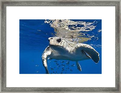 Olive Ridley Turtle Framed Print by Christopher Swann