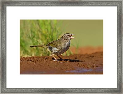Olive Sparrow (arremonops Rufivirgatus Framed Print by Larry Ditto