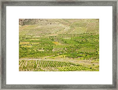 Olive Tree And Orchard Groves Framed Print