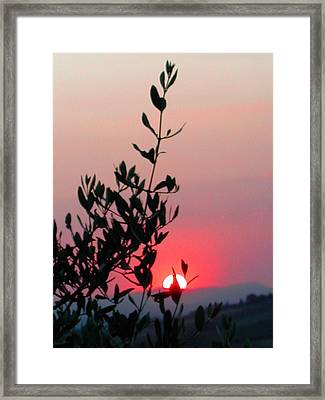 Olive Tree At Sunset Framed Print by Dorothy Berry-Lound