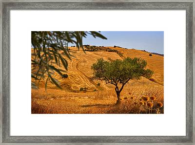 Olive Tree Field Framed Print