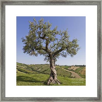 Olive Tree Framed Print by Maurizio Bacciarini