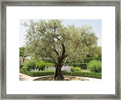 Olive Tree Framed Print by Pema Hou
