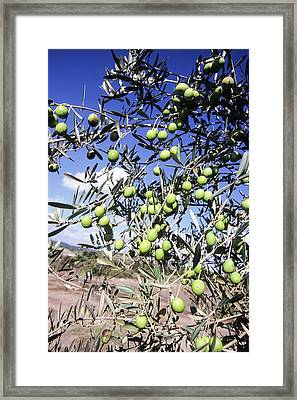 Olive Tree Framed Print by Photostock-israel