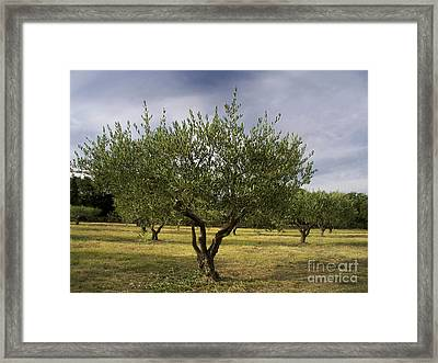 Olive Tree. Provence. France Framed Print by Bernard Jaubert
