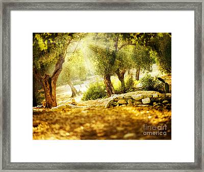 Framed Print featuring the photograph Olive Trees by Boon Mee