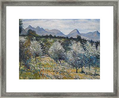 Olives At Diemersfontein Cape South Africa. Framed Print by Enver Larney