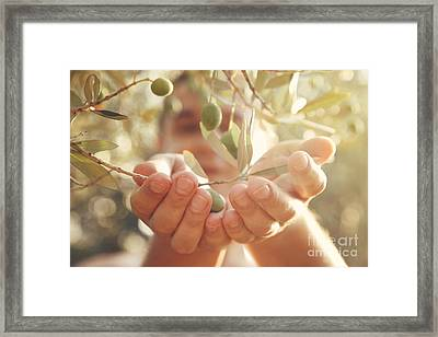 Olives Harvest Framed Print