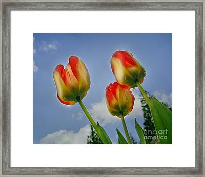 Olympic Flame Tulips Framed Print