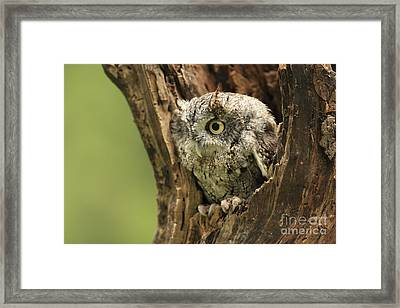 On Alert Eastern Screech Owl In Tree Cavity Framed Print by Inspired Nature Photography Fine Art Photography