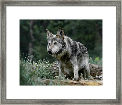 On Alert Framed Print by Ernie Echols