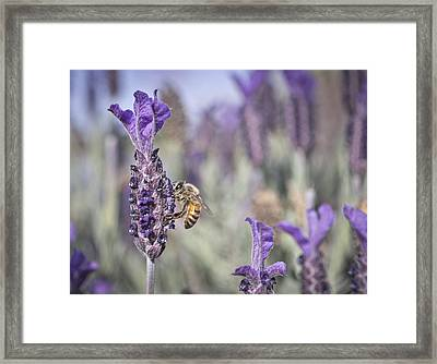 On The Lavender  Framed Print