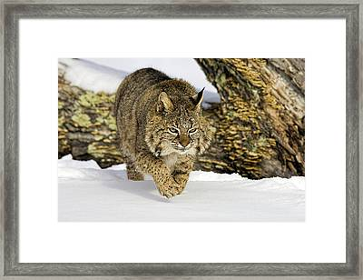 On The Prowl Framed Print by Jack Milchanowski