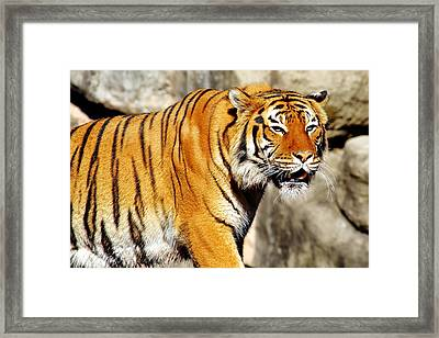 Framed Print featuring the photograph On The Prowl by Jason Politte