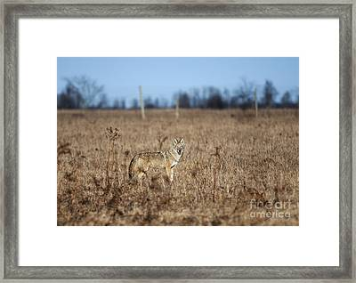 On The Prowl.. Framed Print by Nina Stavlund