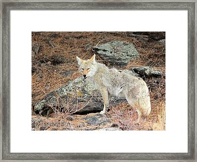 On The Prowl Framed Print by Shane Bechler