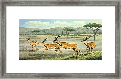 On The Run -  Impala Framed Print by Paul Krapf