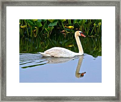 On The Swanny River Framed Print by Frozen in Time Fine Art Photography