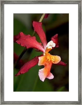 Oncidium Ornithorhynchum Hybrid Orchid Framed Print by Nigel Downer