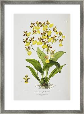 Oncidium Pectorale Framed Print