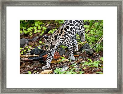 Framed Print featuring the photograph Oncilla Cat by Dennis Cox WorldViews