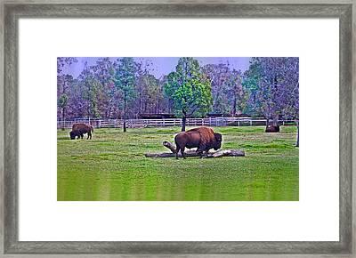 One Bison Family Framed Print