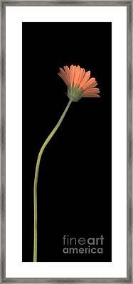 One Daisy Tall Framed Print by Heather Kirk