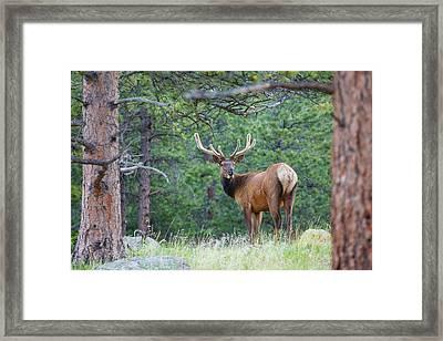 One Elk Looking Back Velvet Framed Print by Piperanne Worcester