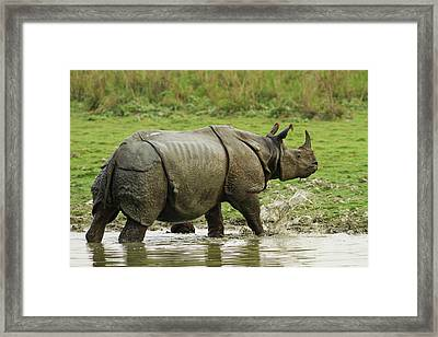 One-horned Rhinoceros, Coming Framed Print