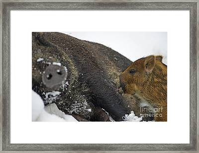 One Little Piglet Went To The Market... Framed Print
