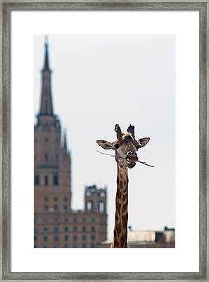 One More Bite To Outgrow The Tallest 4 Framed Print by Alexander Senin