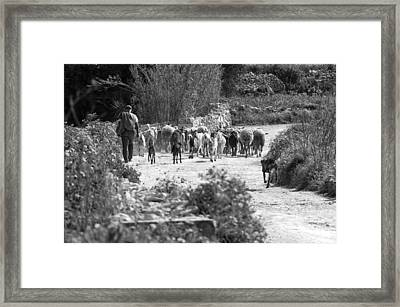One Of The Last Gozitan Traditional Sheep Farmers  Framed Print by Focus  Fotos