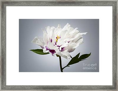 One Peony Flower Framed Print by Elena Elisseeva